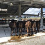 貴重な体験!久米島家畜市場に行ってみた。産業の裏側
